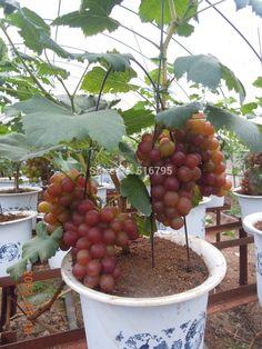 frutas de árvores bonsai - uva
