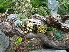 Succulents in a Driftwood Planter - See more at: http://worldofsucculents.com/succulents-in-a-driftwood-planter
