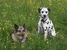 Dalmatiner und Schäferhund-Mix