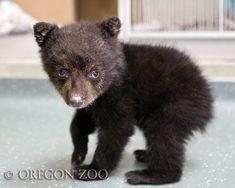 Adorable Baby Bear at the Oregon Zoo!