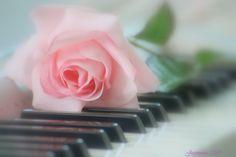 pink piano rose - Roses Wallpapers and Images - Desktop Nexus Groups