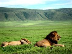 Lions at the Ngorongoro Crater in Tanzania.