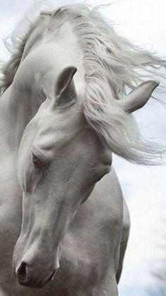 Equine Photography - Horse - Andalusian Horse by Şevki Bıyık Pretty Horses, Horse Love, Beautiful Horses, Animals Beautiful, Cute Animals, Wild Animals, Beautiful Horse Pictures, Beautiful Beautiful, Amazing Photos
