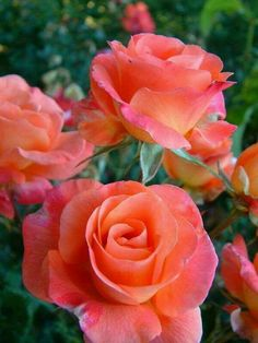 Captivating Why Rose Gardening Is So Addictive Ideas. Stupefying Why Rose Gardening Is So Addictive Ideas. My Flower, Pretty Flowers, Flower Power, Unique Flowers, Beautiful Roses, Beautiful Gardens, Rosa Rose, Coming Up Roses, Tea Roses