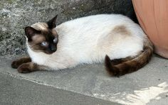 Seal Point Siamese with a bit of tabby cat | Siamese Cat