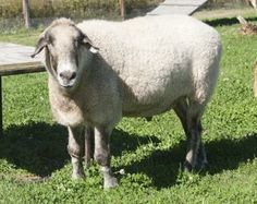 Floyd is a big, goofy mixed-breed wether. He is around 11 years old, and as frisky as can be. He is one of the most friendly, people-oriented sheep we've ever met - just adores attention and petting.  Though he came in with a pair of goats, he seems...