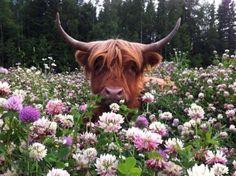 scottish highland cattle miniature