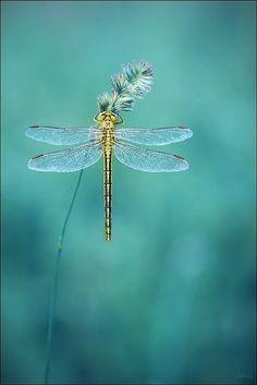 Yellow and black dragonfly. #PANDORAloves
