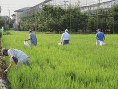 【草取り】虫送祭終了後、田んぼに入り草取りを行いました。