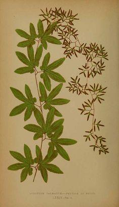 American Climbing Fern (Lygodium Palmatum)