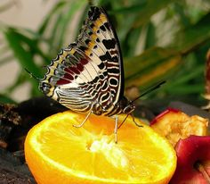 butterfly feeders and food | butterfly feeder