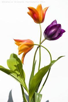 Tulipanes / por DebraLee Wiseberg en 500px