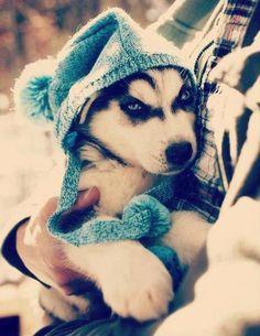 adorable husky puppy dog