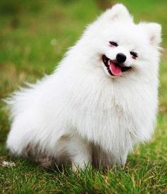 Pomeranians - small dogs