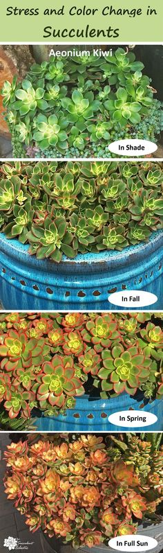 to Colorful Succulents? Stress Stress brings out brilliant coloring in succulents. Learn what types of stress, why, and whether this is something to worry about. Pin now and read later! :)Stress brings out brilliant coloring in succulents. Colorful Succulents, Succulents In Containers, Cacti And Succulents, Planting Succulents, Planting Flowers, Succulent Landscaping, Succulent Gardening, Succulent Terrarium, Indoor Gardening