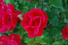 How to care for Knockout Roses: Plant them properly in well-drained, rich soil; Water them amply (at their base, never the leaves); Provide them with adequate sun (min 6 hours of morning sun); Prune them once a year (start of growing season); Fertilize them a bit. I follow these tips, and my Knockout Roses are over 10 feet tall! -Ali C.