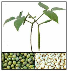 Discover what science says about green gram or mung bean nutrition benefits and uses.