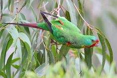 The swift parrot breeds in Tasmania and migrates north to south eastern Australia from Griffith-Warialda in New South Wales and west to Adelaide in the winter.