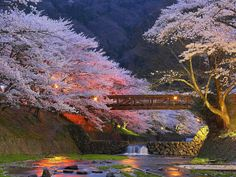 Beautiful Cherry Trees, Kyoto, Japan.