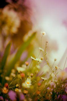 daisies #nature #flowers