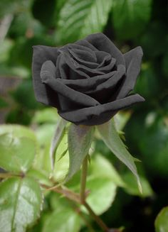 Black roses from Halfeti, Turkey. The black rose gets it's color from high mineral content in the water and soil found near the Euphrates River in this Turkish village.