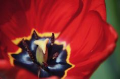 Tulip Macro Photography,Red Abstract Flower Tulip Macro,Minimal Flower Photo,Floral Petals Garden,pistil and stamens photo,Macro Petal photo by flyingbike on Etsy
