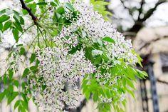 Tháng ba mùa hoa xoan tím rạo rực tâm hồn