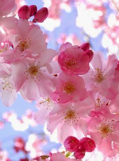Blooming Cherry Blossoms.  I so want to go to Washington DC during cherry blossom time