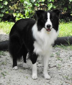 Koda - Border Collie