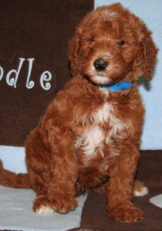 Goldendoodles English Goldendoodle Puppy Breeder - Goldendoodle Puppies For Sale - Moss Creek Goldendoodles