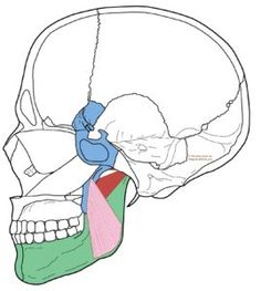 Trigger Points – Sinus Pain in the Face and Ear Congestion