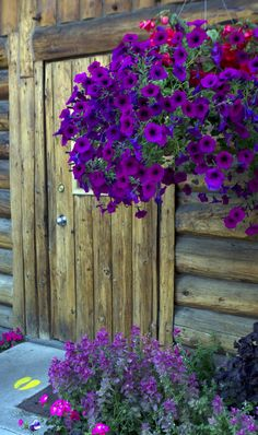 Petunias -- so colorful and easy to grow