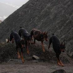 Doberman Dogs, Doberman Pinscher, Animals Beautiful, Cute Animals, Foto Glamour, Different Types Of Dogs, Dubai, Belgian Malinois, Dog Breeds