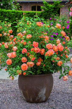 "Rose Garden British article on the best container roses. (This is the David Austin rose, 'Lady of Shalott' - ""an ideal rose for the inexperienced gardener. Container Plants, Container Gardening, Gardening Tips, Organic Gardening, Indoor Gardening, Vegetable Gardening, Flowers In Containers, Gardening Websites, Gardening Magazines"