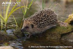water hedgehog