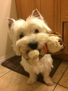 Westie ~ West Highland Terrier dog carrying his stuffed puppy