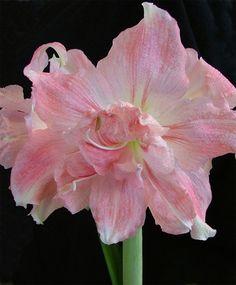Amaryllis Rozetta - Christmas Flowering Double Amaryllis - Amaryllis - Flower Bulbs Index