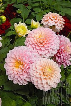 Quality Horticultural Images and Plant and Garden Photos Picture Library with over 2 Million Images! Chrysanthemums, Zinnias, Gardening Gloves, Garden Photos, Belleza Natural, Strawberries And Cream, Cacti, Pretty Flowers, Pretty Little