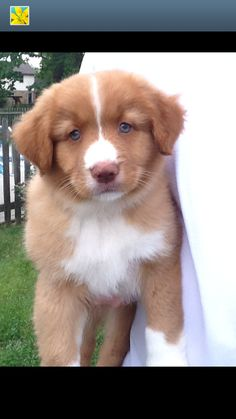 Murdock the Nova Scotia Duck Tolling Retriever