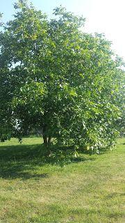 mój ogród warzywny: Liście orzecha włoskiego