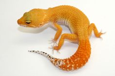 An orange leopard gecko! They look like a baby dinosaur, which is adorable and you can hold them and play with them :)
