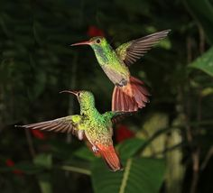 Two Rufous-tailed Hummingbirds - Lew Scharpf