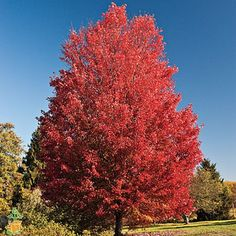 Image result for october glory red maple