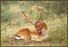 Amazing nature & wildlife photography from Hennie van Heerden Wildlife Photography, Animal Photography, Fallow Deer, Oh Deer, Woodland Creatures, Animals Of The World, Nature Reserve, Science And Nature, My Animal