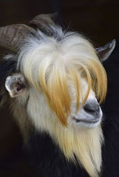 goat on black
