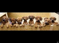 Nine Rhodesian Ridgeback puppies from a litter of 17 look out of their box in Nauen, 50 kilometers outside Berlin on Monday, Dec. 20, 2010. ...