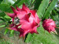 ~~dragon~~~> Dragon Fruit or Pitaya Exotic Fruit, Tropical Fruits, Exotic Plants, Tropical Plants, How To Grow Dragon Fruit, Dragon Fruit Plant, Fruit Trees, Trees To Plant, Como Plantar Pitaya