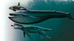 Größenvergleich: Killerwal, Blauwal, Pliosaurier und Mensch