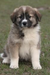 Great Pyrenees/Austral...