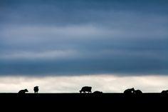 koeien silouetten tegen avondlucht